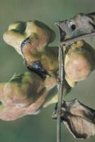 ヌルデシロアブラムシによる虫こぶ 23018011426| 写真素材・ストックフォト・画像・イラスト素材|アマナイメージズ