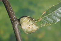クリタマバチによる虫こぶ 23018011444| 写真素材・ストックフォト・画像・イラスト素材|アマナイメージズ