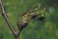 クリタマバチによる虫こぶ 23018011445  写真素材・ストックフォト・画像・イラスト素材 アマナイメージズ
