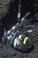 ベッコウバチ(クモバチ)