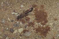 ジガバチ 23018011654| 写真素材・ストックフォト・画像・イラスト素材|アマナイメージズ