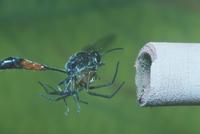 ジガバチモドキ 23018011656| 写真素材・ストックフォト・画像・イラスト素材|アマナイメージズ