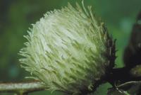 ナライガフシバチ(ナラメイガタマバチ)による虫こぶ 23018011668| 写真素材・ストックフォト・画像・イラスト素材|アマナイメージズ