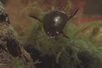 クロゲンゴロウ