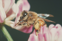 ミツバチ 23018012084| 写真素材・ストックフォト・画像・イラスト素材|アマナイメージズ