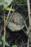 コガタスズメバチ 23018012124| 写真素材・ストックフォト・画像・イラスト素材|アマナイメージズ