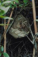 コガタスズメバチ 23018012125| 写真素材・ストックフォト・画像・イラスト素材|アマナイメージズ