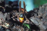 スズメバチ 23018012291| 写真素材・ストックフォト・画像・イラスト素材|アマナイメージズ
