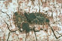 ノコギリヒラタカメムシ