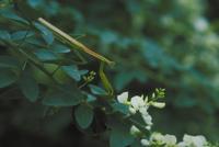 オオカマキリ 23018012894| 写真素材・ストックフォト・画像・イラスト素材|アマナイメージズ