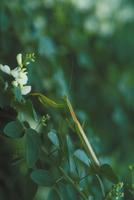 オオカマキリ 23018012918| 写真素材・ストックフォト・画像・イラスト素材|アマナイメージズ