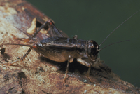 ツヅレサセコオロギ 23018012977| 写真素材・ストックフォト・画像・イラスト素材|アマナイメージズ