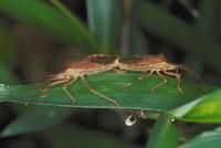 ホシハラビロヘリカメムシ