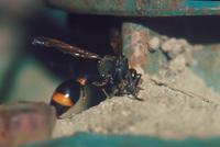 スズメバチ 23018013481  写真素材・ストックフォト・画像・イラスト素材 アマナイメージズ