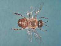 ミツバチ 23018013767  写真素材・ストックフォト・画像・イラスト素材 アマナイメージズ