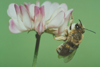 ヒゲナガハナバチ