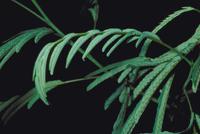 ネムノキ 23018019277  写真素材・ストックフォト・画像・イラスト素材 アマナイメージズ