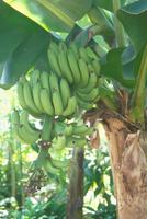 バナナ 23018022238| 写真素材・ストックフォト・画像・イラスト素材|アマナイメージズ