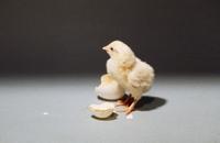 ニワトリ 23018025415  写真素材・ストックフォト・画像・イラスト素材 アマナイメージズ