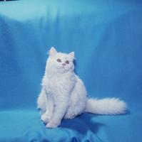 ネコ チンチラ 23018025739| 写真素材・ストックフォト・画像・イラスト素材|アマナイメージズ