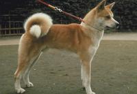 イヌ 秋田犬 23018025821| 写真素材・ストックフォト・画像・イラスト素材|アマナイメージズ