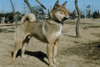 イヌ 四国犬