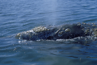 コククジラ