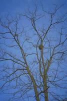 カササギ 23018026426| 写真素材・ストックフォト・画像・イラスト素材|アマナイメージズ