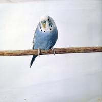 セキセイインコ 23018027152  写真素材・ストックフォト・画像・イラスト素材 アマナイメージズ