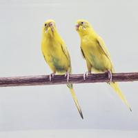 セキセイインコ 23018027155  写真素材・ストックフォト・画像・イラスト素材 アマナイメージズ