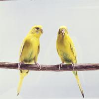 セキセイインコ 23018027156  写真素材・ストックフォト・画像・イラスト素材 アマナイメージズ