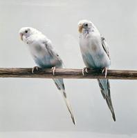 セキセイインコ 23018027157  写真素材・ストックフォト・画像・イラスト素材 アマナイメージズ