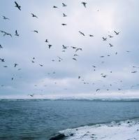 カモメ類の群