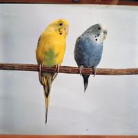 セキセイインコ 23018027270  写真素材・ストックフォト・画像・イラスト素材 アマナイメージズ