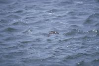 コシジロウミツバメ