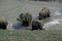 アフリカゾウ 23018028544| 写真素材・ストックフォト・画像・イラスト素材|アマナイメージズ