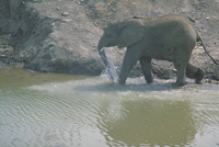 アフリカゾウ 23018028546| 写真素材・ストックフォト・画像・イラスト素材|アマナイメージズ
