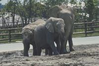 アフリカゾウ 23018028547| 写真素材・ストックフォト・画像・イラスト素材|アマナイメージズ