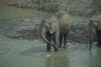 アフリカゾウ 23018028549| 写真素材・ストックフォト・画像・イラスト素材|アマナイメージズ