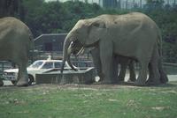 アフリカゾウ 23018028550| 写真素材・ストックフォト・画像・イラスト素材|アマナイメージズ