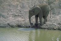 アフリカゾウ 23018028551| 写真素材・ストックフォト・画像・イラスト素材|アマナイメージズ