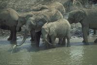 アフリカゾウ 23018028552| 写真素材・ストックフォト・画像・イラスト素材|アマナイメージズ