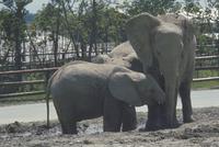 アフリカゾウ 23018028553| 写真素材・ストックフォト・画像・イラスト素材|アマナイメージズ