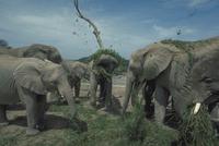 アフリカゾウ 23018028554| 写真素材・ストックフォト・画像・イラスト素材|アマナイメージズ