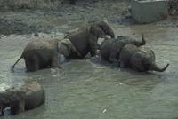 アフリカゾウ 23018028555| 写真素材・ストックフォト・画像・イラスト素材|アマナイメージズ