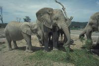 アフリカゾウ 23018028556| 写真素材・ストックフォト・画像・イラスト素材|アマナイメージズ