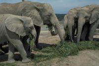 アフリカゾウ 23018028559| 写真素材・ストックフォト・画像・イラスト素材|アマナイメージズ