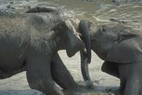 アフリカゾウ 23018028560| 写真素材・ストックフォト・画像・イラスト素材|アマナイメージズ