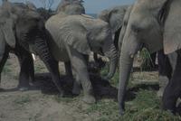アフリカゾウ 23018028562| 写真素材・ストックフォト・画像・イラスト素材|アマナイメージズ