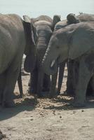 アフリカゾウ 23018028563| 写真素材・ストックフォト・画像・イラスト素材|アマナイメージズ